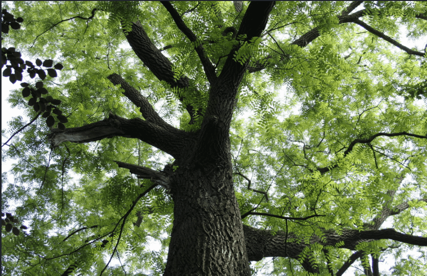 Black Walnut Tree Wood is Toxic to Dogs.