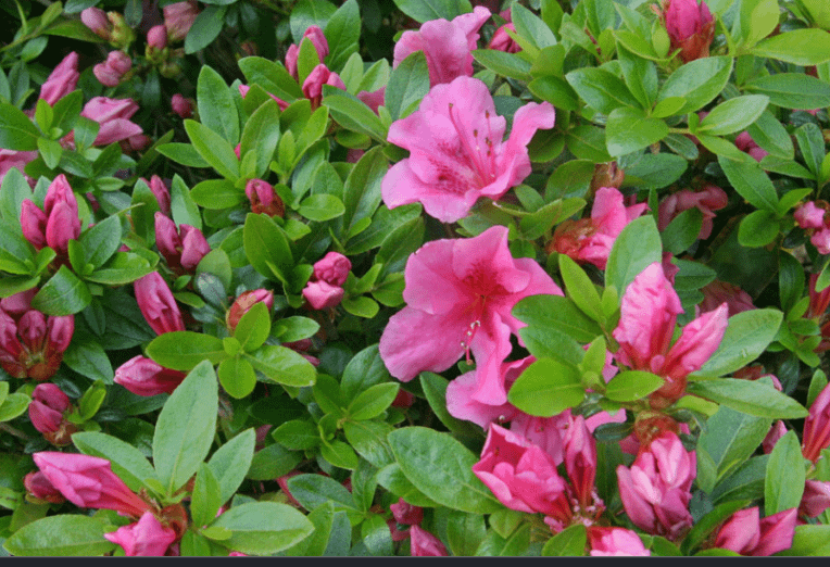Azaleas and Rhododendron are very Toxic to Dogs